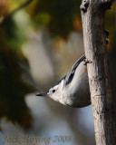 Nuthatch in the Morning Sun