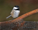 Chickadee near the feeder