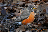 A Robin braving the cold weather
