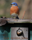 Nesting Eastern Bluebirds
