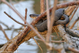 Watch out when kayaking under trees!  Black Rat Snake