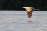 Blue Heron on the surface