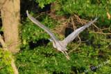 Blue Heron gaining altitude