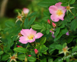 Wild roses on the edge of the lake