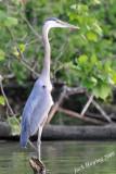 Blue Heron standing tall