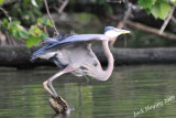 Blue Heron takeoff 2