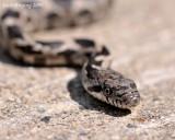 Baby Black Rat Snake