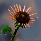 Evening Cone-Flower