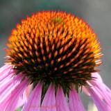 Cone Flower Detail