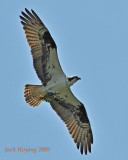 Osprey with Smallmouth Bass