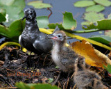 Black Tern Family