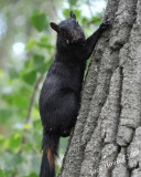 Black Squirrels were a common sight