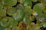 Tiny (about 1) lily pads