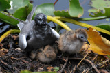 Black Tern with chicks 5