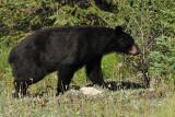 Black Bear along the Icefields Parkway, Jasper National Park, Alberta, Canada