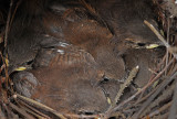 Six Wrens almost ready to leave the nest