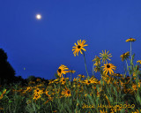Daisies under the Moon