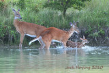 Whitetail Deer playing at the waters edge