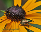 Black Eyed Susan and Beetle