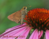 Cone Flower Visitor