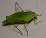 Katydid on the wall
