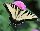 Eastern Tiger Swallowtail visiting the Zinnia