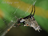 Jeweled Spider