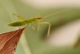 Wheel Bug (Assassin Bug) Nymph