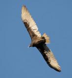 Buzzard / Turkey Vulture