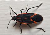 Halloween Colored Bug