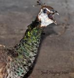 Peacock Attitude