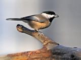 Chickadee with seed