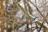 Blue Jays on a cold December day