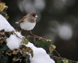 Junco on the Ivy