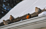 Robin and Doves trying to find some warmth at -8 degrees