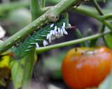 Tomato Worm with Braconid Wasp Larva parasites