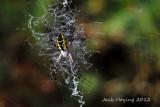 Argiope Aurantia -  Corn Spider or Yellow Garden Orbweaver