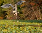 Blue Heron Takeoff (rear view!)