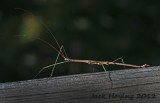 Northern Walking Stick (about 4 long)