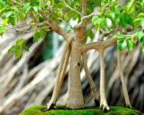 Old Bonsai tree.