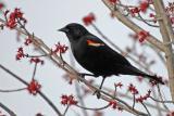 Red Wing Blackbirds
