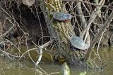 Painted Turtle 3
