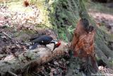 Pileated woodpecker removing bark