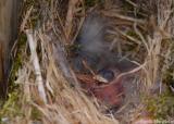 Tiny Hatched Chickadees