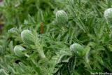 Poppies getting ready to bloom