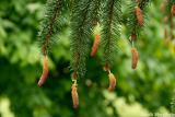 Pollen pods (Austrian Pine)