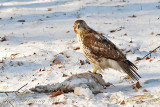 Hawk Eating Breakfast