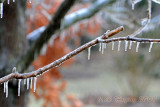 Ice Starting to build up on the branches