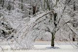 Tree broke down by the heavy ice