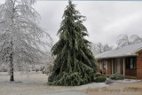 Heavy trees in the front yard